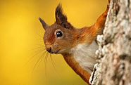 Red squirrel/SCOTLAND The Big Picture/ Naturepl