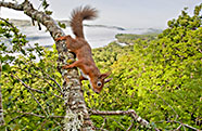 Red squirrel in oak woodland with Loch Awe in background, Scotland